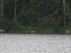 deer-in-water1
