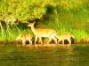 deer-in-water2
